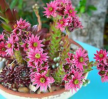 Crassula Flowers by Rewards4life