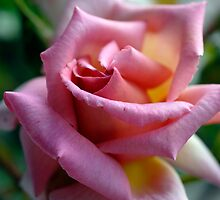 Welcome Pink Rose by rosie320d