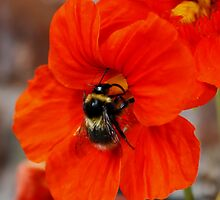 Nasturtium Nectar Collection by AnnDixon