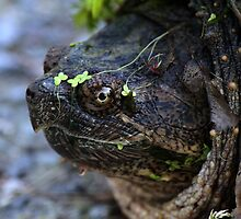 Snapping Turtle by Bradley Nichol