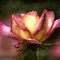 Faded Rose by Mandy Brown