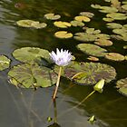 Sunken Gardens Lily by Christopher Hanke