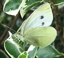 Cabbage Moth! by KiriLees