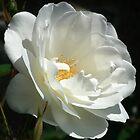 White Beauty by lynn carter