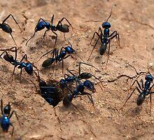 Blue Bull Ants by Paula McManus