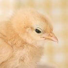 Baby Chick by love2shoot