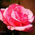 Pinkest Rose by Julie Everhart
