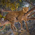 Leopard in tree, Moremi Game Reserve, Botswana by Neville Jones