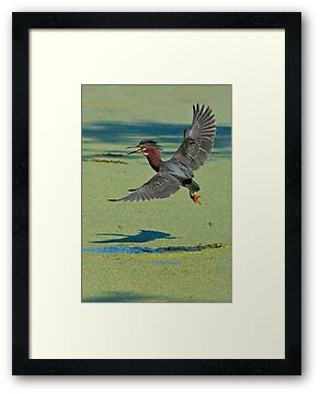 Green Heron In Flight by Michael Cummings