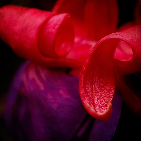 Fuchsia abstract by Celeste Mookherjee