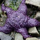 Purple Sea Star  by TerrillWelch