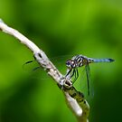 Male Blue Dasher Dragonfly by Steve Borichevsky