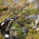Diving puffin by Matthias Keysermann