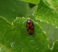 red and black leaf hopper by DAL LIPTROT