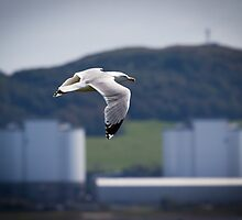 Herring Gull and Hunterston A by Chris West
