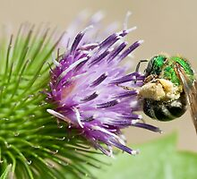 sweat bee by jude walton