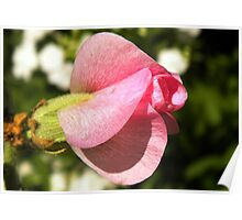 Pink Hollyhock Petal With Shadow Poster