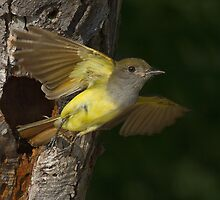 Great Crested Flycatcher Bursting Out of the Nest. by Daniel Cadieux