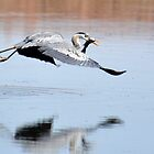 blue heron flying with fish by gene mcfarland