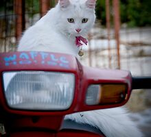 Cats of Greece 7 by Lidia D'Opera