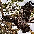Baby Eagle Flying School by David Friederich