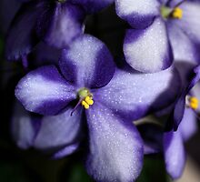 Violet & White Bi-colour African Violets  by Carole-Anne