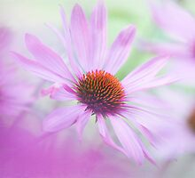 Soft summer pinks by Jacky Parker