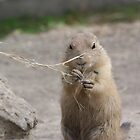 Prairie dog munching on hay by linhere