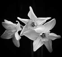 Daffodils in Black & White by AnnDixon