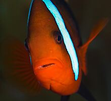 clown fish by Antonio Salaverri Leiras