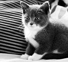 Kitten IV by Anne Staub