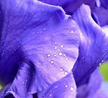 Royal Shades of Iris by Rebecca Bryson