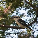 Laughing Kookaburra, Dacelo novaeguineae by Odille Esmonde-Morgan