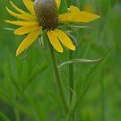 Prairie Coneflower by Paula Betz