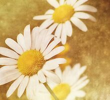 Daisy Trio by vigor