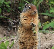 Columbian Ground Squirrel by Teresa Zieba