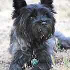 Cairn Terrier by Tamara Lindsey