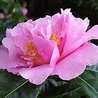 Camellia El Dorado by Melissa Stevenson