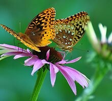 Two butterflies on on coneflower by mltrue