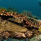 Wobbegong Shark by Bob  Whorton