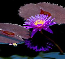 Purple Water Lily by John Absher