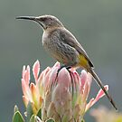 Sugarbird on Protea by Macky