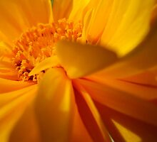 Coreopsis - A double up close by RevJoc
