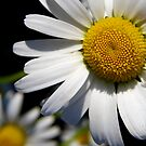 Wonderful Daisy by Rhonda Blais