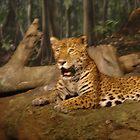 Jaguar  by PurrfectPhoto