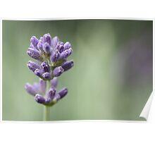 Lady Lavender Poster