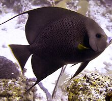 Black Angelfish From Side by SerenaB