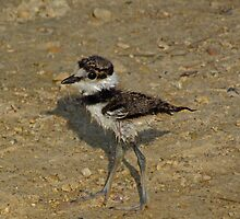 Tiny Little Killdeer by swaby