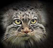 Portrait of a Pallas Cat by Mark Hughes
