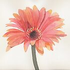 Gerbera by Sue Brown